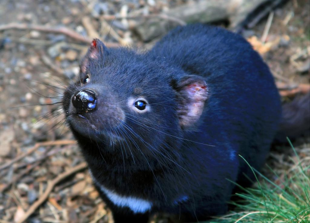 Tasmanian devil cancer immune response recorded raising hopes of vaccine for dftd - Tasmanian devil pics ...