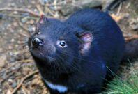tasmanian devil DFTD