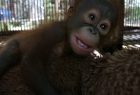 Gatot the orangutan