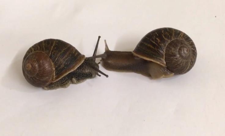 lefty snail
