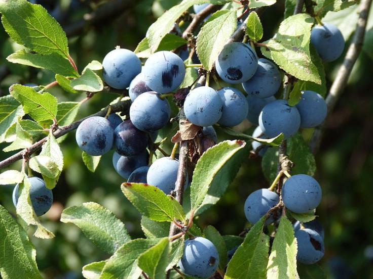 sloe berries