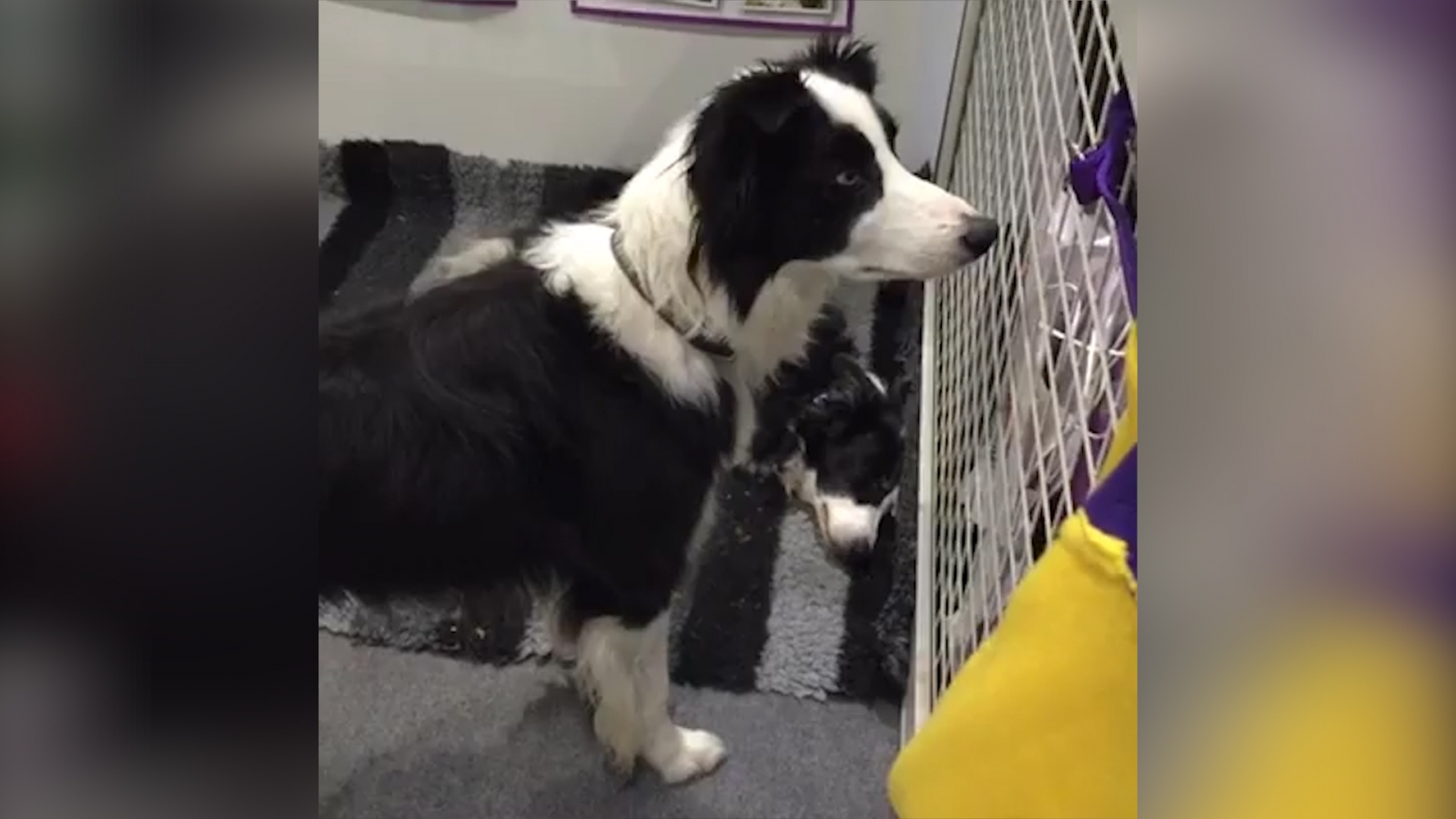 Border collie at Discover Dogs show