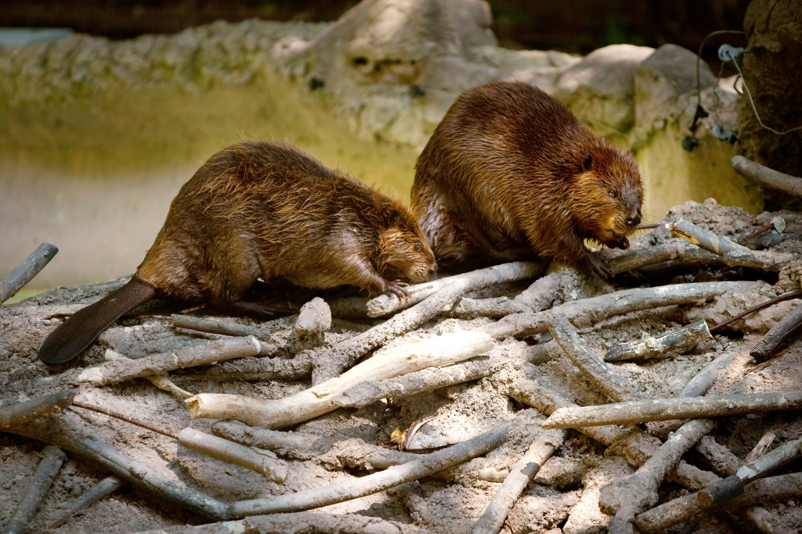 North American Beavers building dam