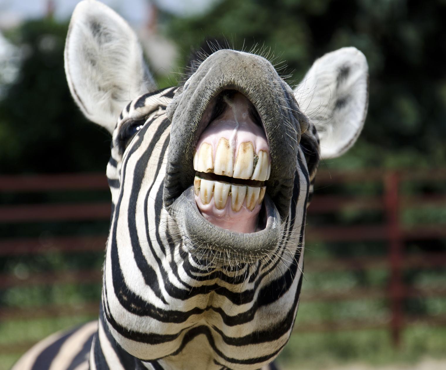 Zebra teeth