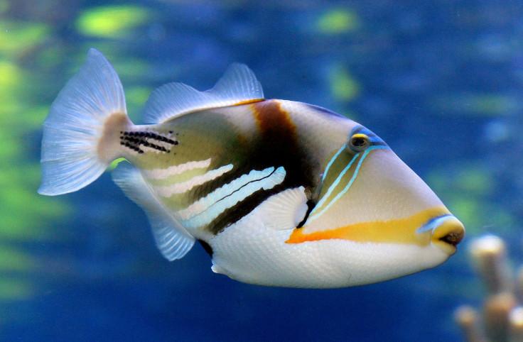 triggerfish make a drum roll sound by swishing their fins