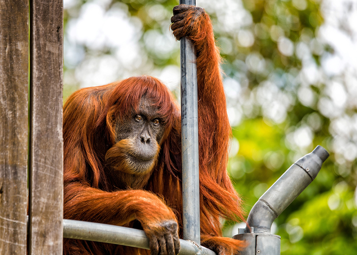 Oldest living Orangutan