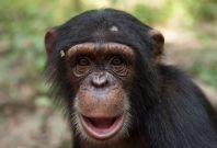 Chimpanzee Conservation Centre Somoria Guinea