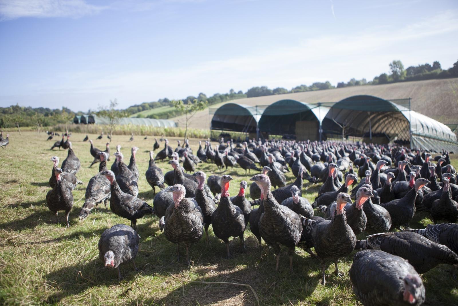 Turkeys roaming the farm