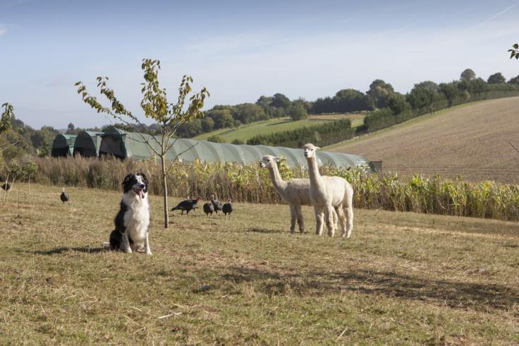Alpacas on a turkey farm