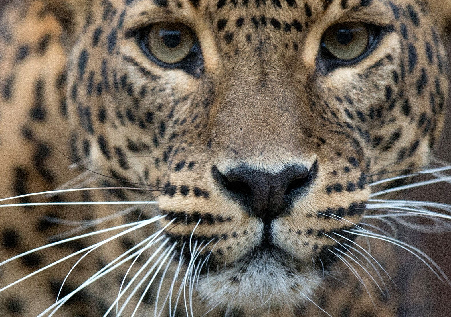 Genetic Study Finds American Jaguars Threatened By
