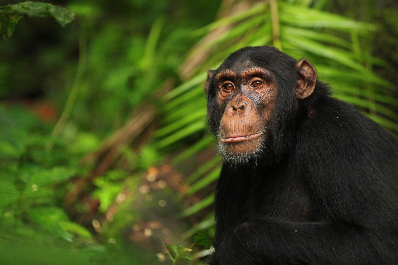 chimpanzees and bonobo