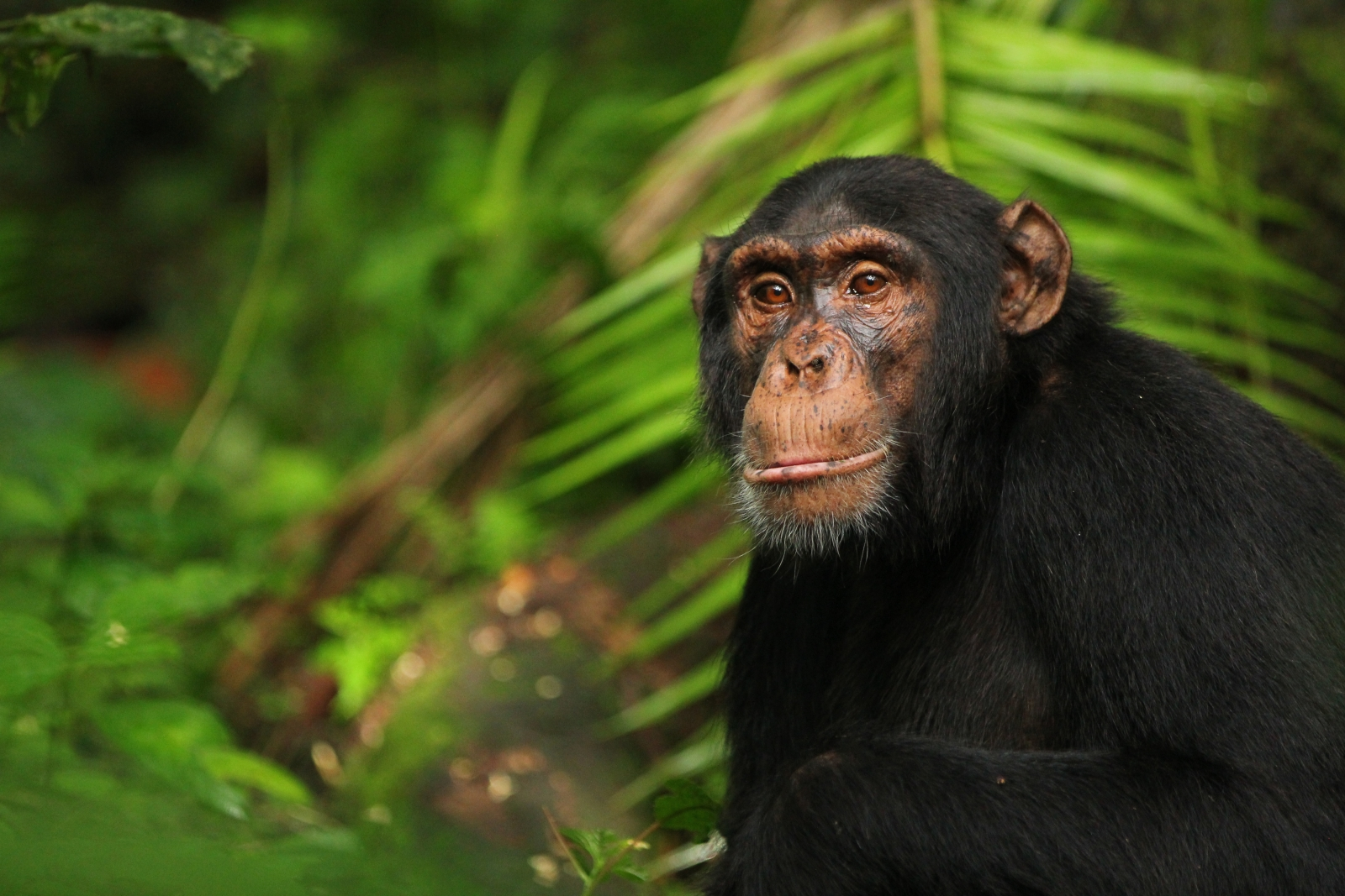 chimpanzees and bonobo