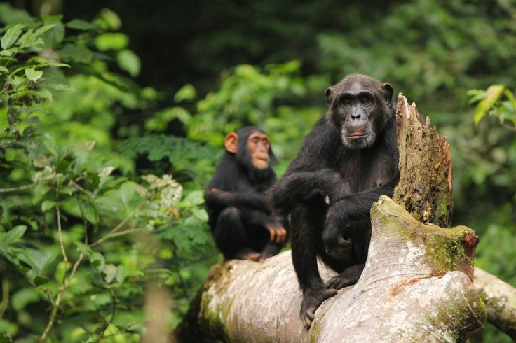 bonobo and chimps