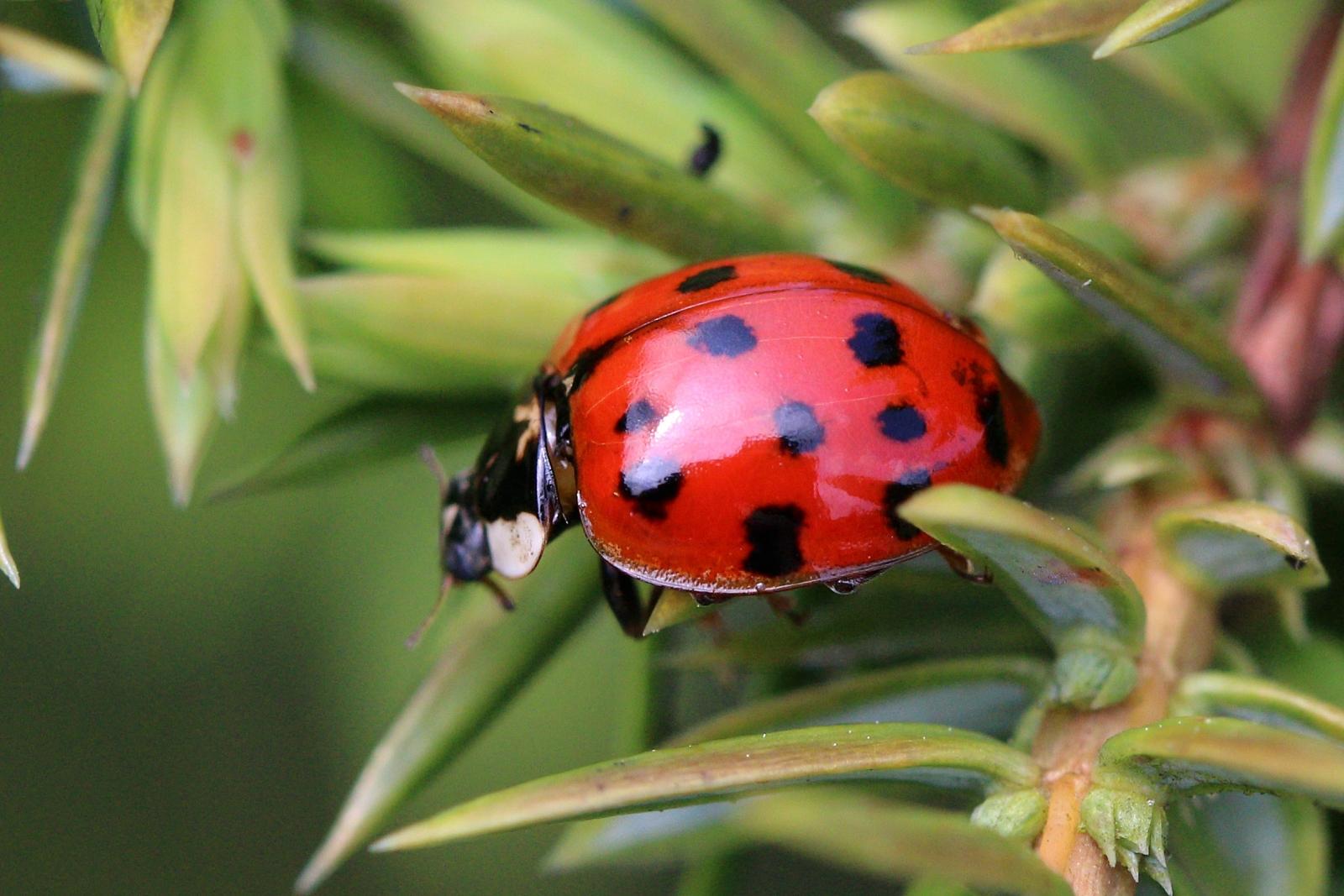 ladybirds - photo #20