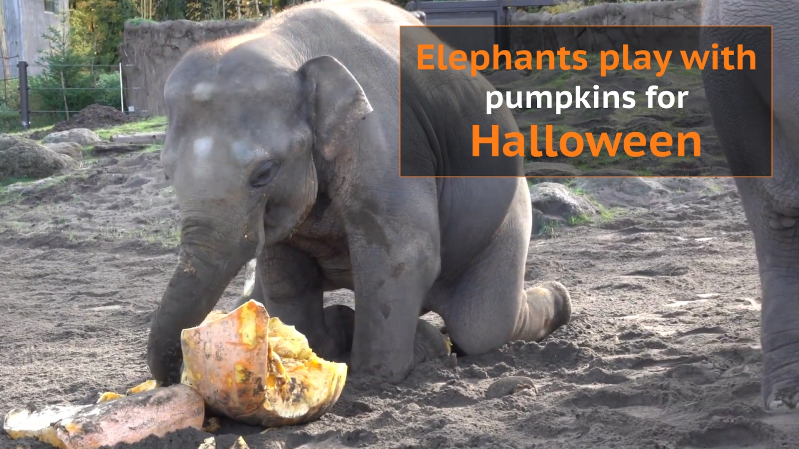 Oregon Zoo elephants Halloween pumpkins
