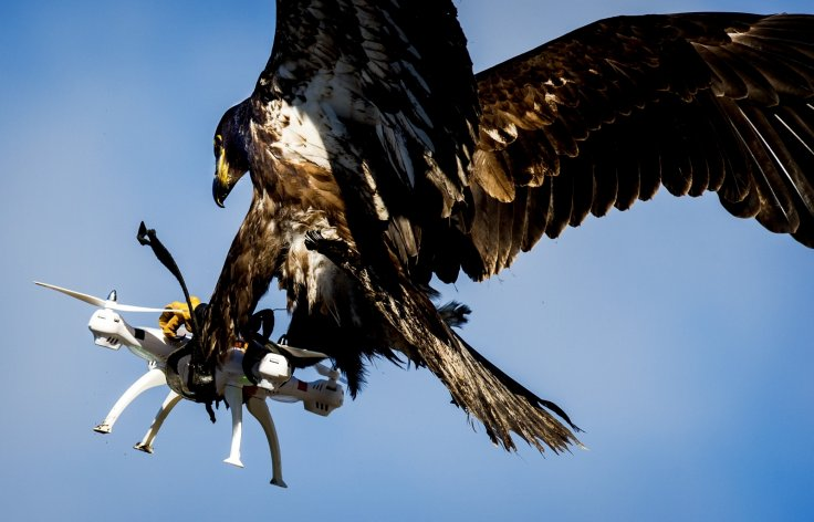 Eagle catches drone during Dutch police exercise