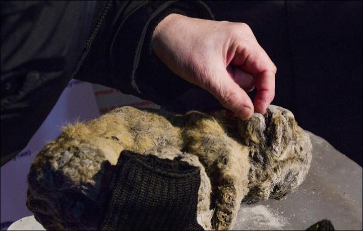 Cave lion cub frozen