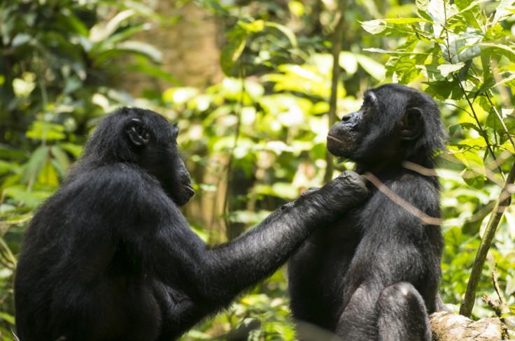 Bonobo grooming