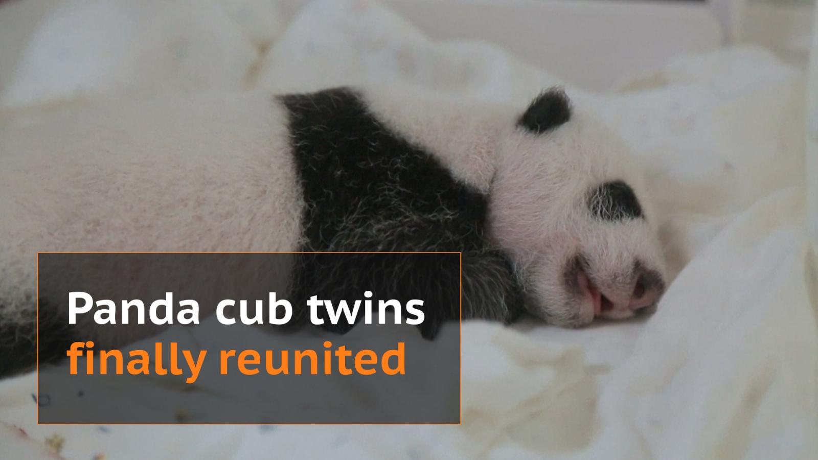 Panda cubs reunited after separation