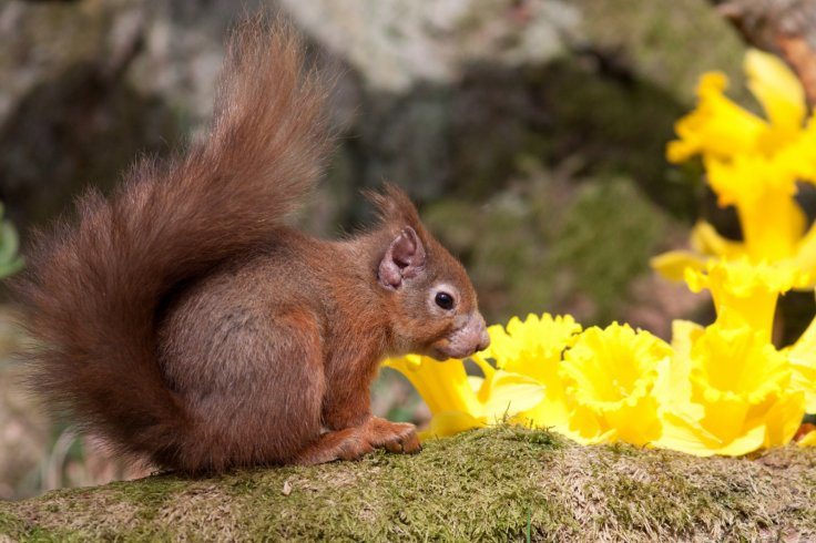 Red squirrel with leprosy