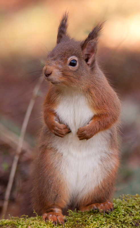 Red squirrel mild leprosy lesions