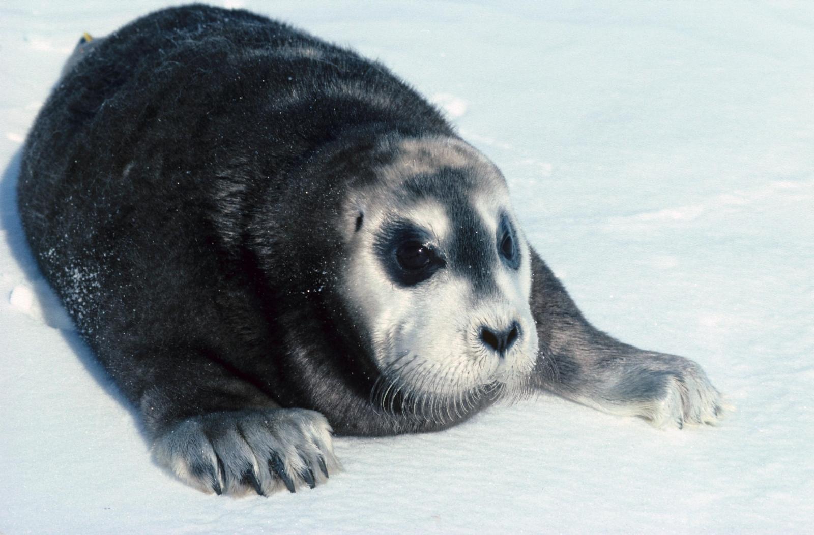 Bearded seal pup