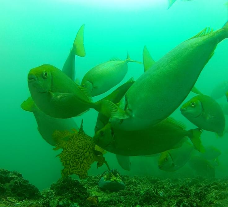 Fish devour kelp forest