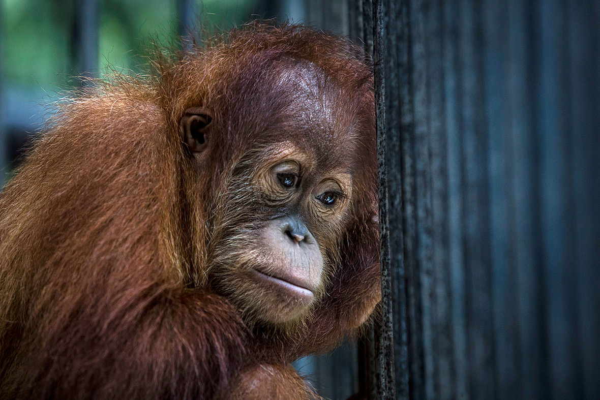 orangutans Indonesia deforestation