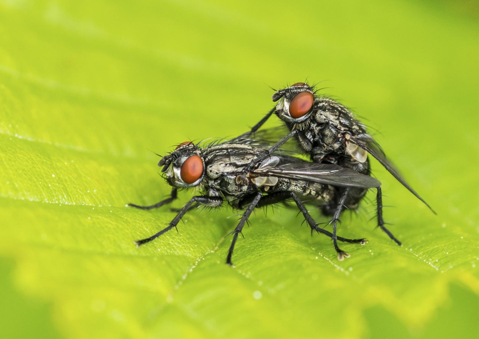 Flies having sex