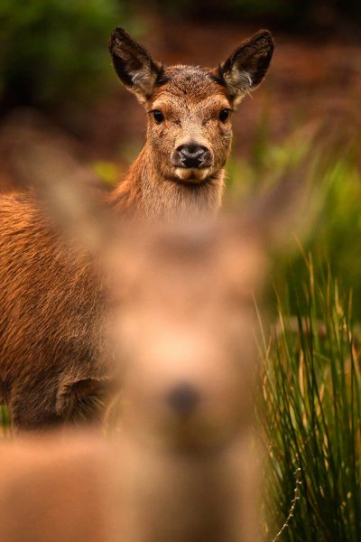 Scottish red deer