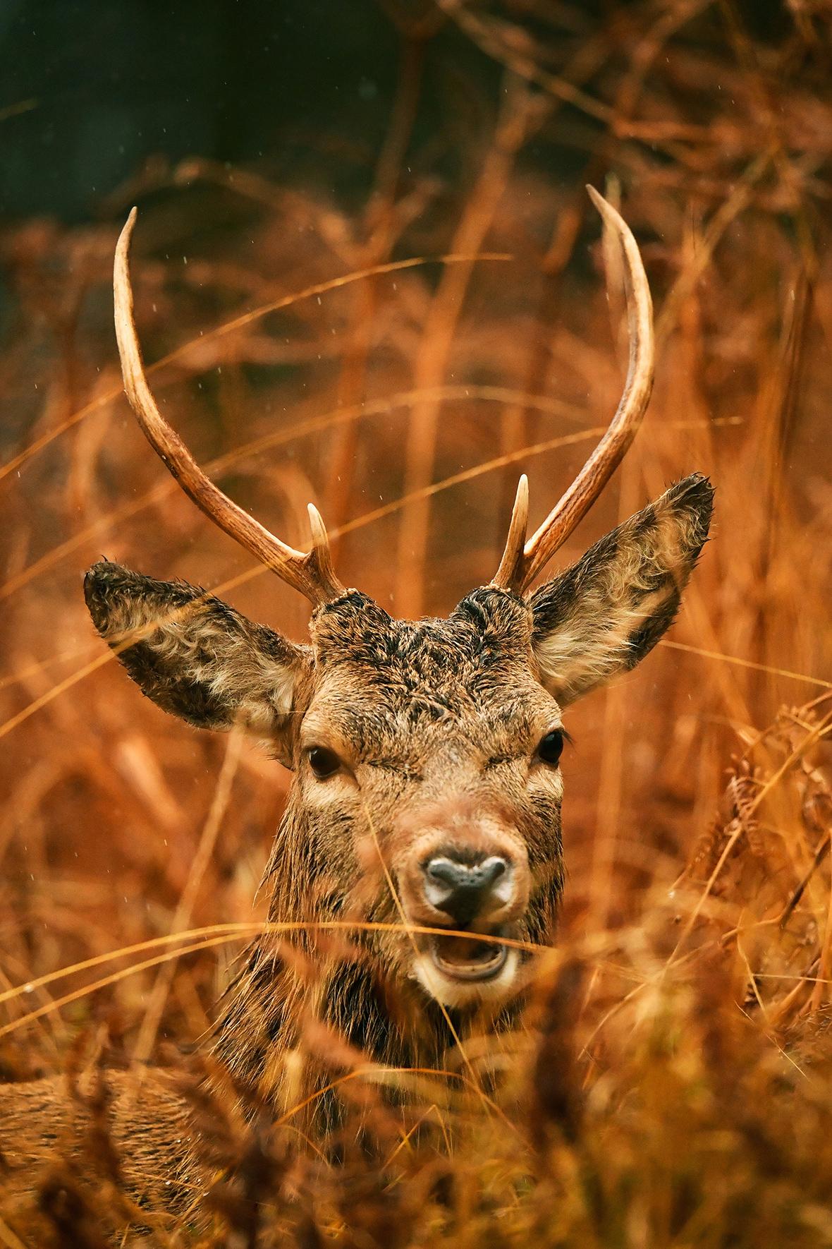 Scottish red deer