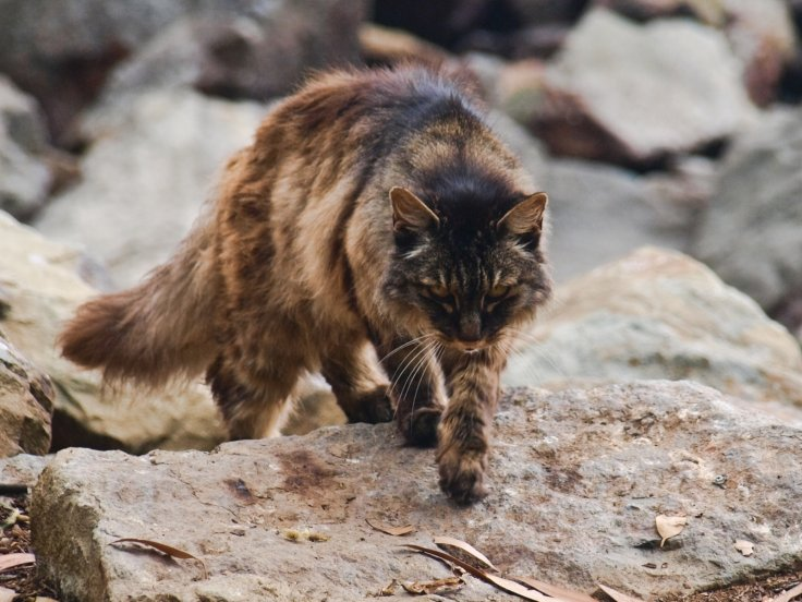 Can A Feral Cat Kill A Dog