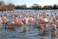 flamingo sexual displays