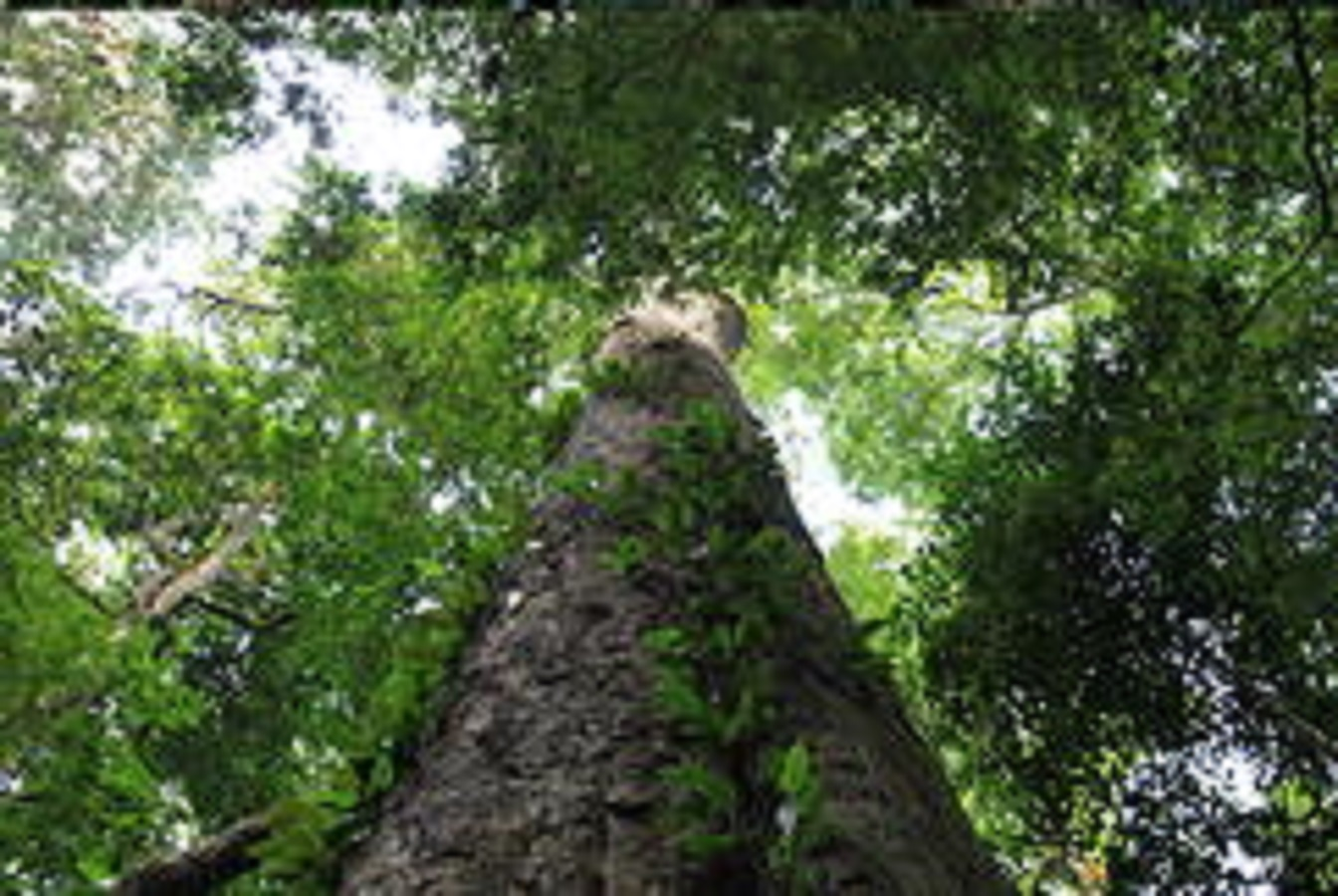 africa tallest tree