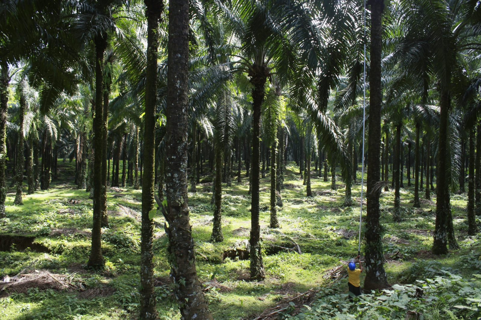 Indonesia Palm oil