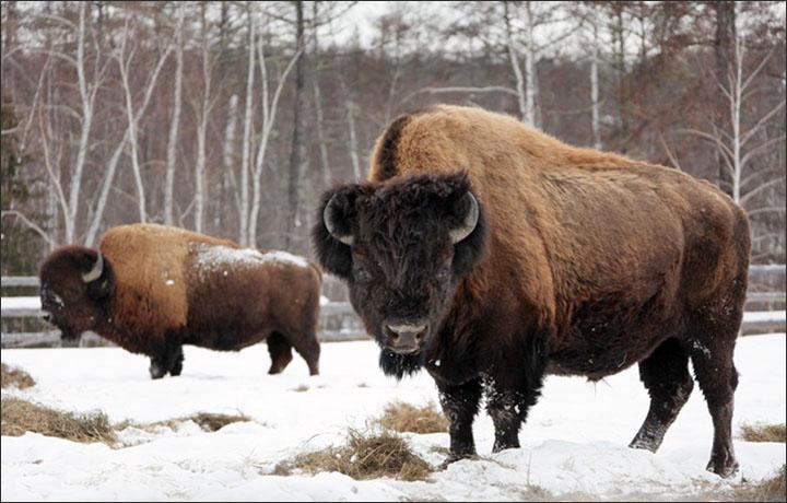 cloning steppe bison