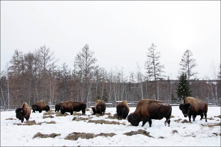 bison cloning