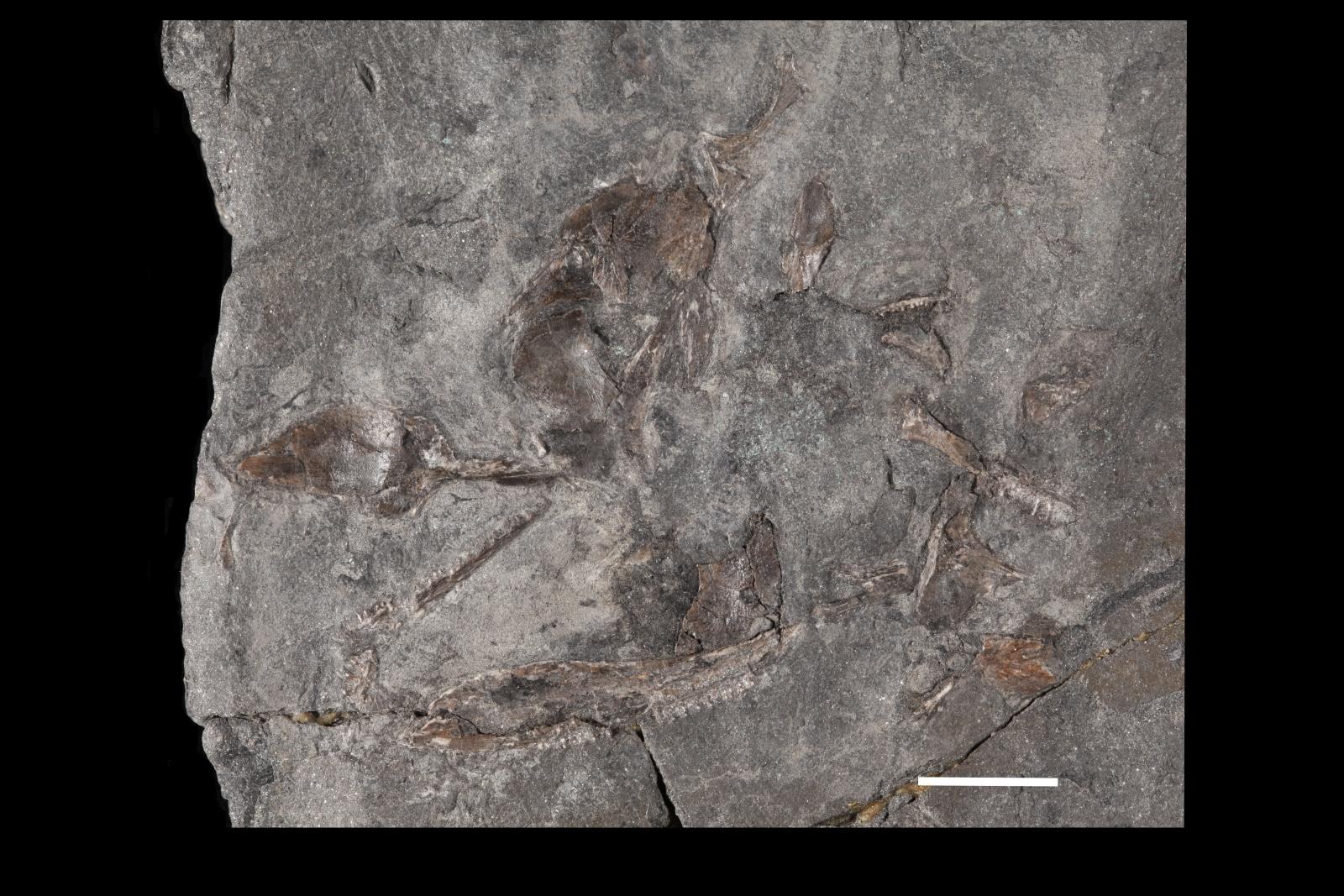 Diploradus austiumensis