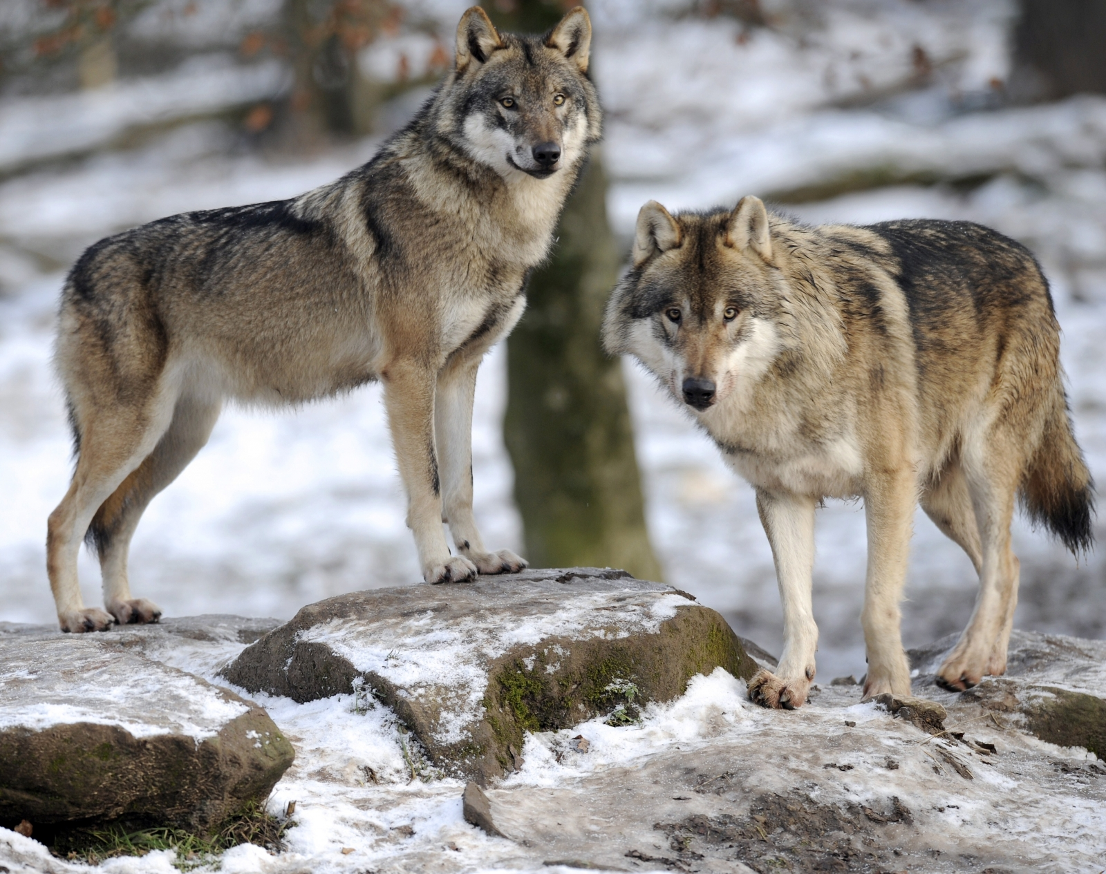 European grey wolves are pictured in the animal park of Sainte-Croix, on December 12, 2012, in Rhodes, eastern France,