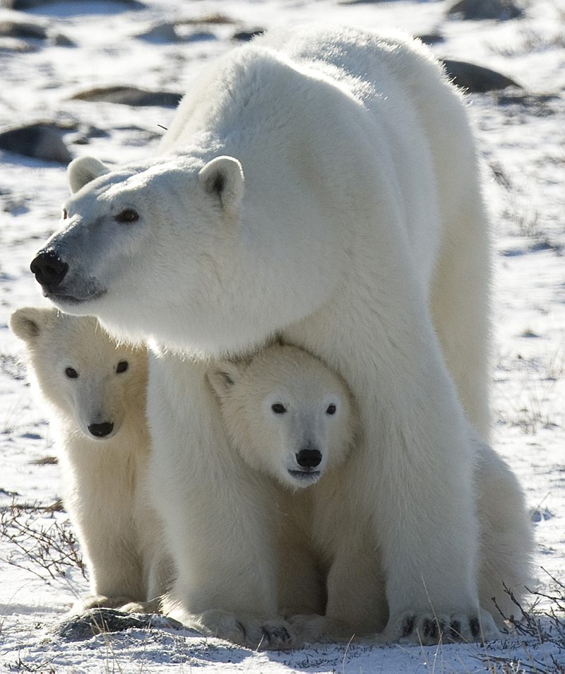 Polar Bear Extinction Arctic Population To Fall By A