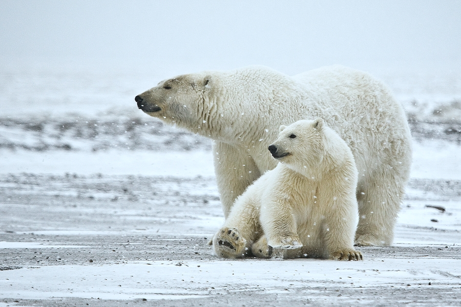 killer whales and greenland sharks could see polar bears as prey  killer whales and greenland sharks could see polar bears as prey warn polar experts