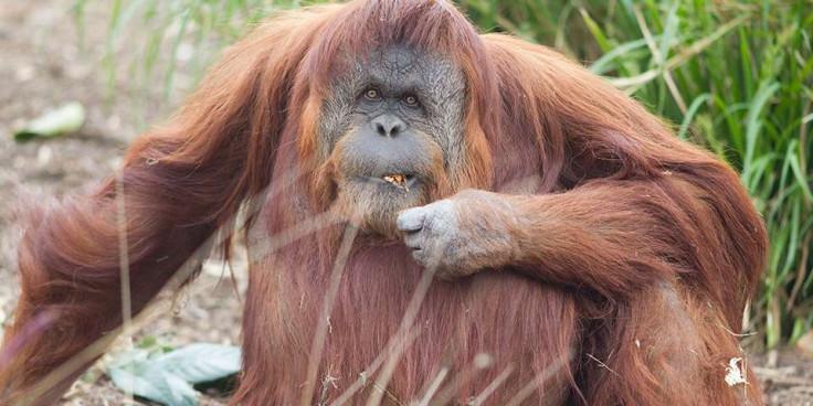 karta orangutan