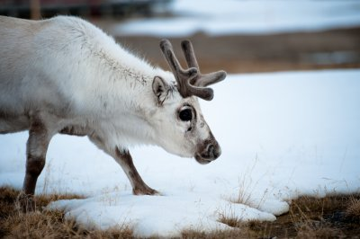 Arctic reindeer becoming smaller
