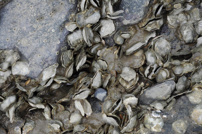 oyster die off