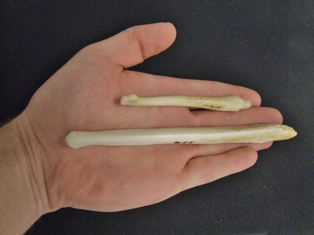penis bone