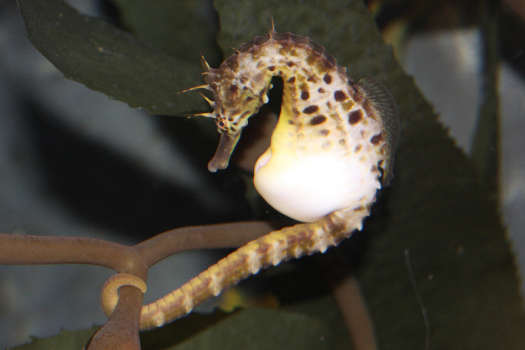 male and seahorse The male seahorse found in spring 2015 by brittany biber, the society's animal care director, gave birth to a brood a couple of weeks after she brought it to the coastal center on hutchinson.