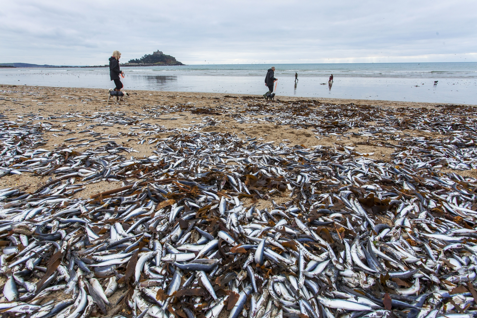 Cornwall: Mystery mass die off as dead fish wash up on ...