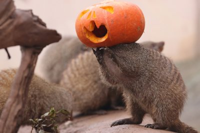 Halloween mongoose