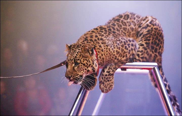 Siberia Rampaging Leopard Savages Heroic Godmother -9792