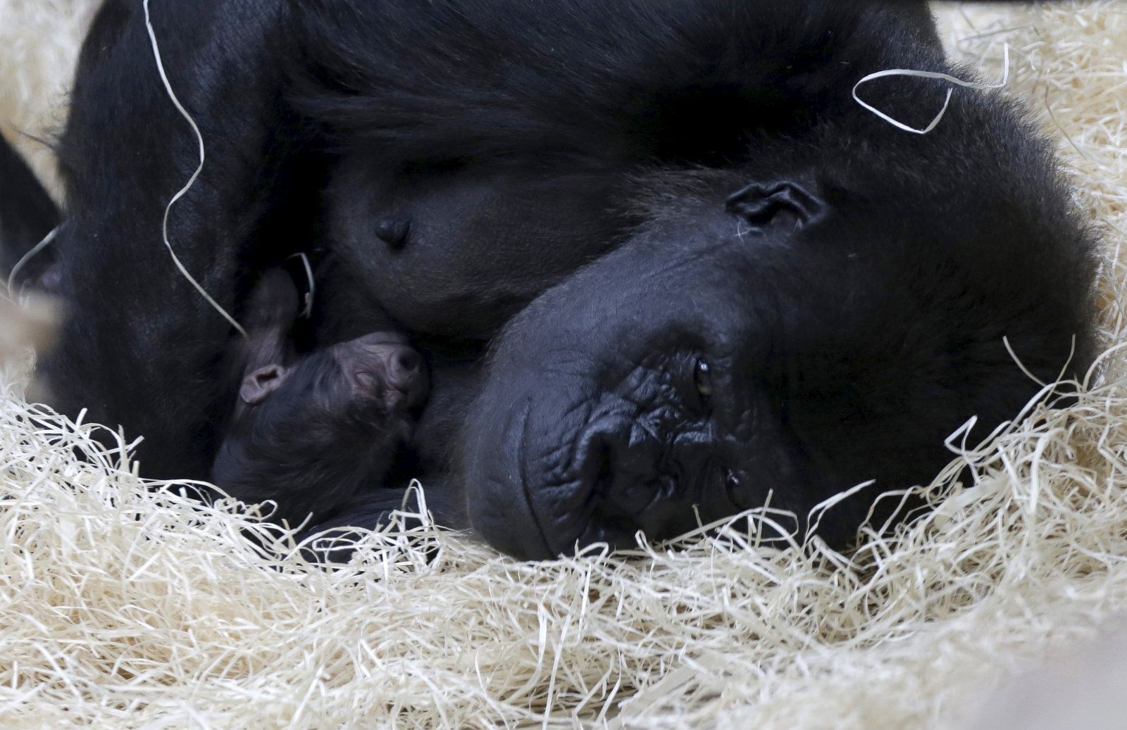 Happy birthday to Colo: Oldest gorilla in US turns 60
